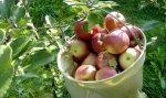 Äpfel  neu Ernte